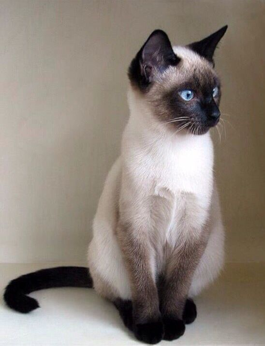 A Siamese cat sits against a wall