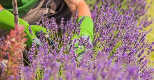 A field of lavender with a gardener working on it