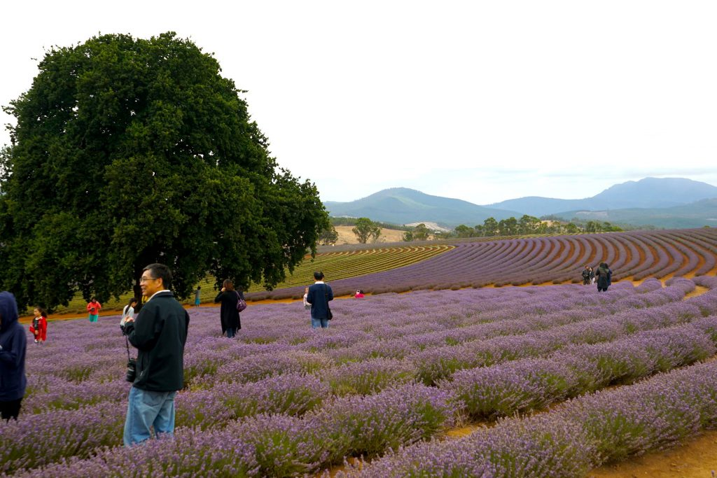 Source: Flickr. Bridestowe Lavender Estate to the north of Launceston has become a sought after tourist destination.
