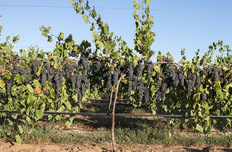 A vineyard with grapes growing