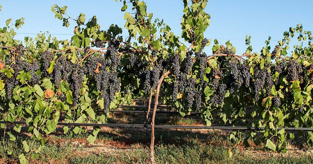 Grapevines in the Barossa Valley