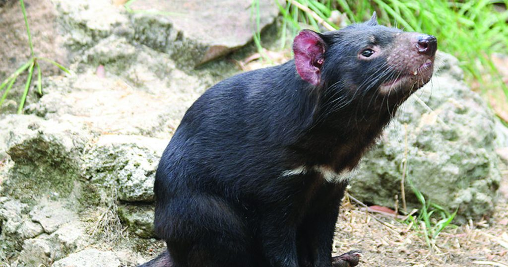 A Tasmanian Devil sitting on the ground, sniffing the air.