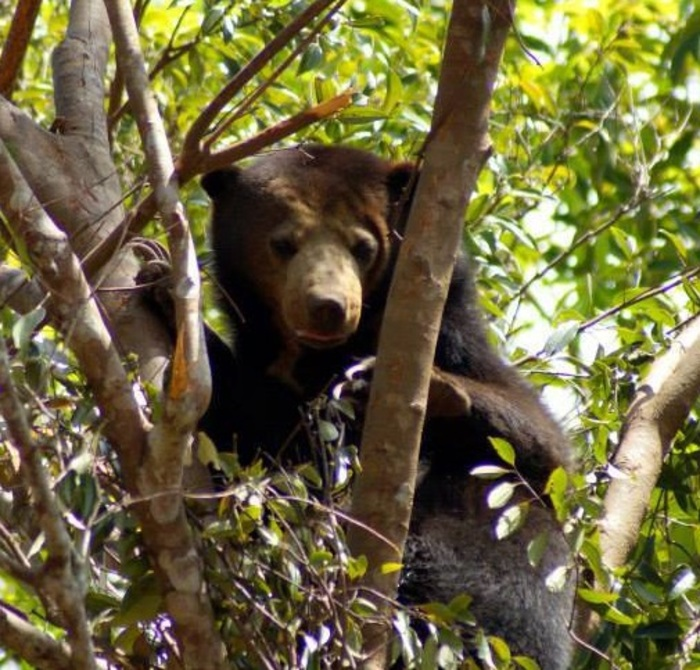 Sun bear at supayang logo