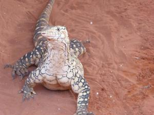 Go to Alice Springs Reptile Centre, Alice Springs NT