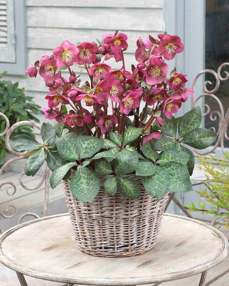 Website/Plants/1040087262/Images/Gallery/h_annasred_07.0.jpg