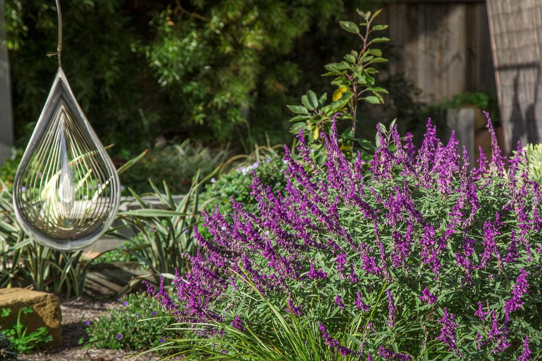 website  plants  110  images  gallery  s salvia santab 0 jpg