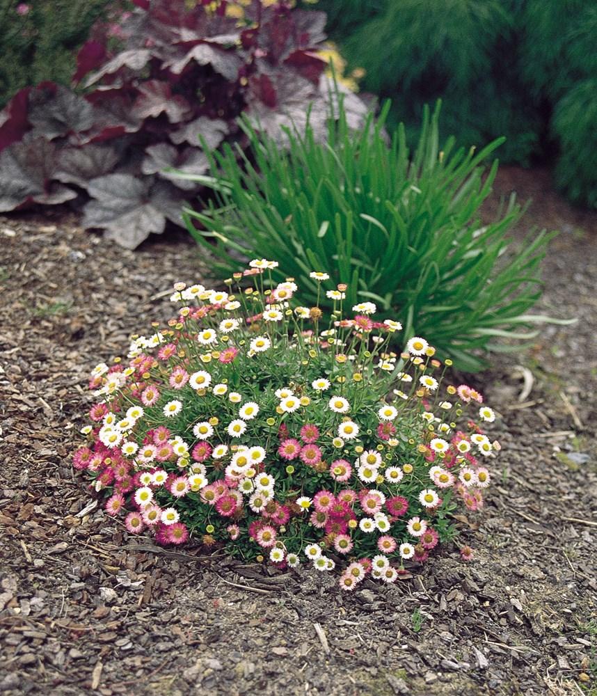 Website/Plants/117/Images/Gallery/e_spindrift_01.0.jpg