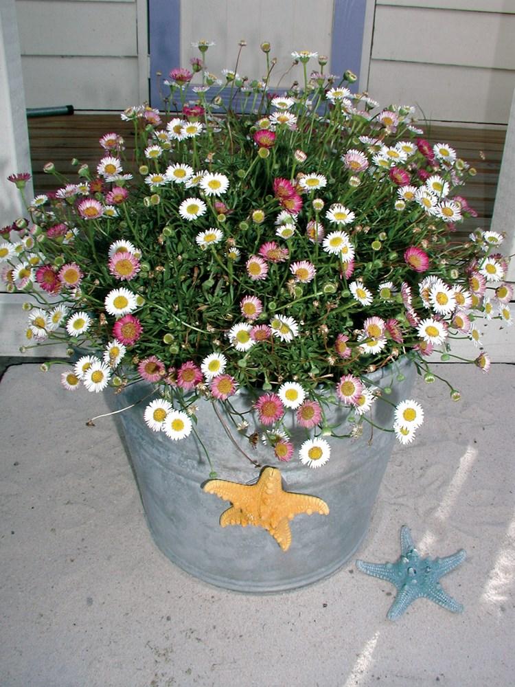 Website/Plants/117/Images/Gallery/e_spindrift_02.0.jpg