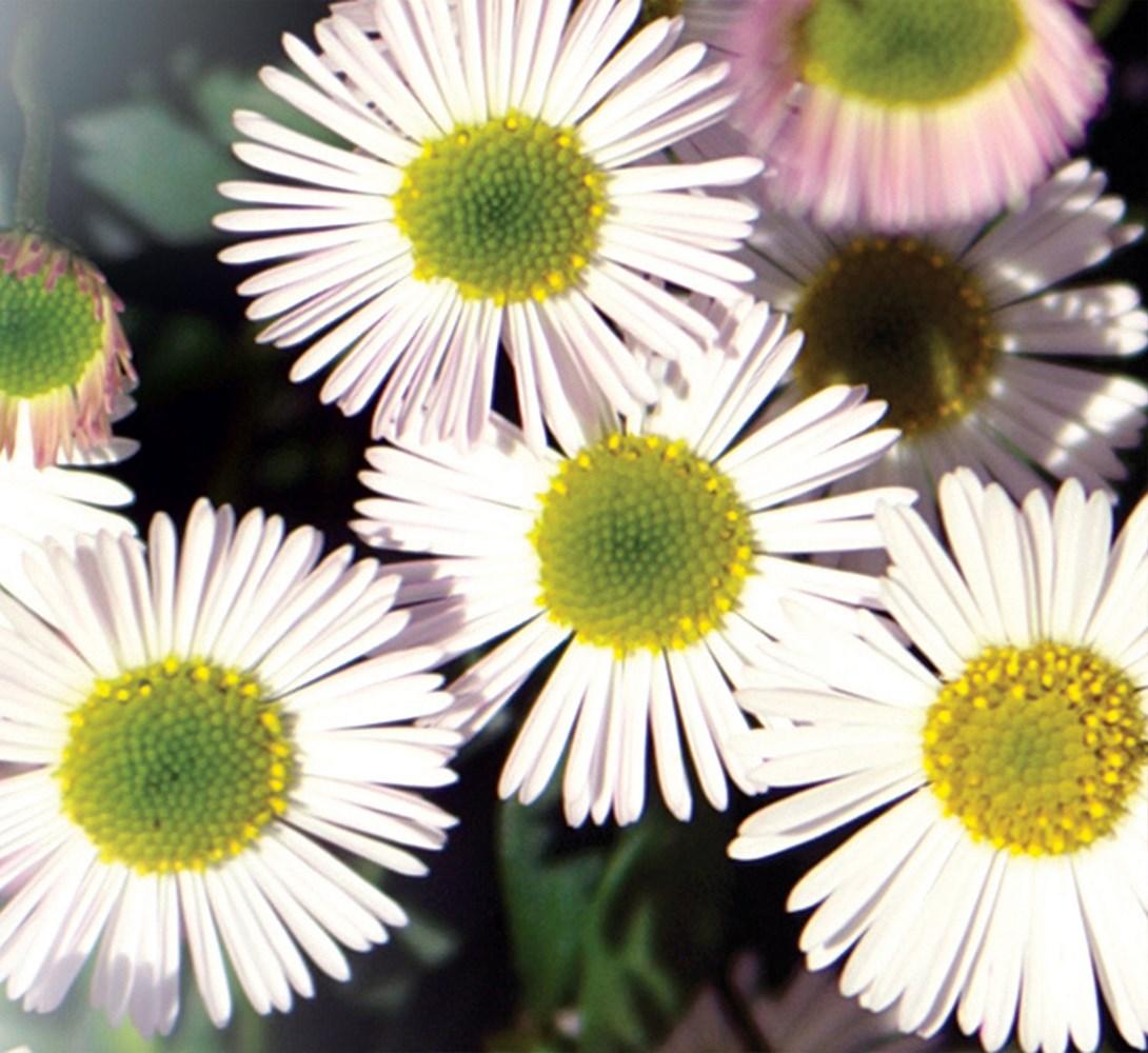 Website/Plants/117/Images/Gallery/e_spindrift_03.0.jpg