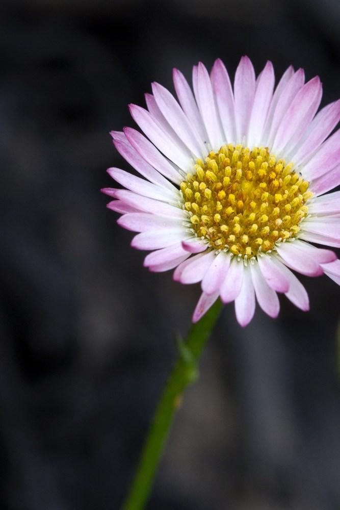 Website/Plants/117/Images/Gallery/e_spindrift_04.0.jpg