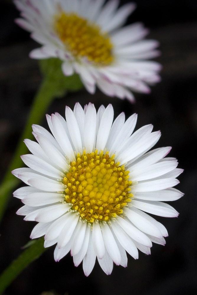 Website/Plants/117/Images/Gallery/e_spindrift_05.0.jpg