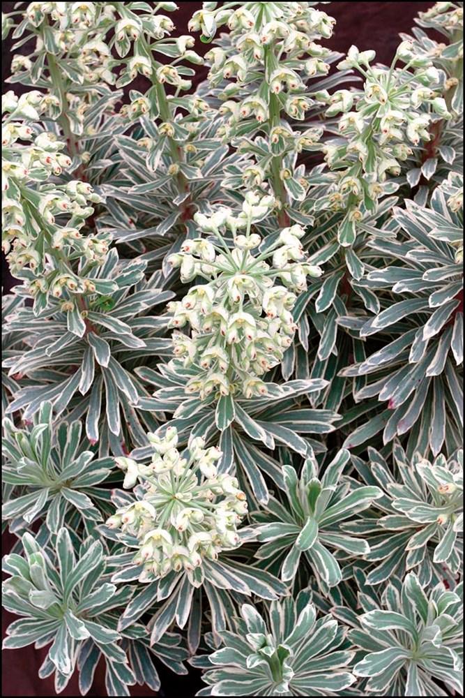 Website/Plants/1184022261/Images/Gallery/e_silverswan_02.0.jpg