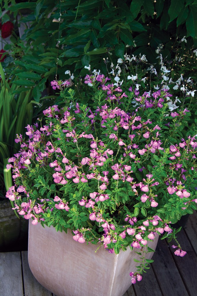Website/Plants/1214455736/Images/Gallery/s_heatwaveglitter_03.0.jpg