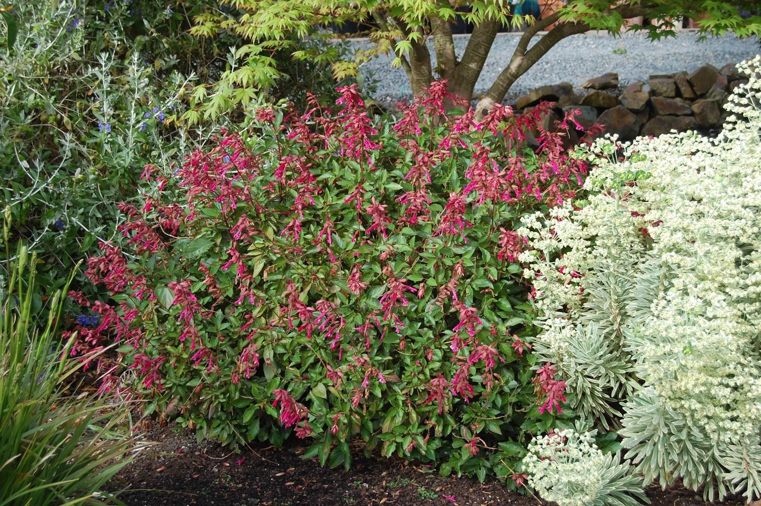 Website/Plants/1251814044/Images/Gallery/s_wendyswish_02.0.jpg