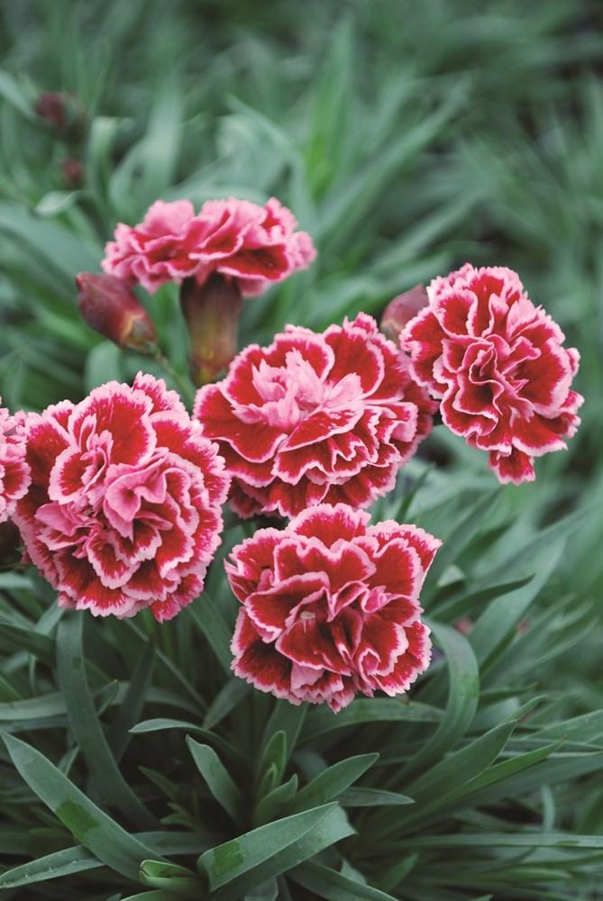 Website/Plants/1264596412/Images/Gallery/d_sugarplum_010.0.jpg
