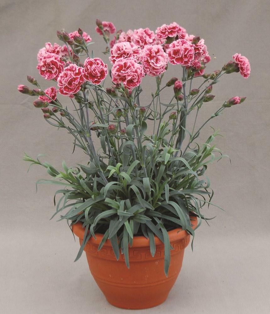 Website/Plants/1264596412/Images/Gallery/d_sugarplum_02.0.jpg