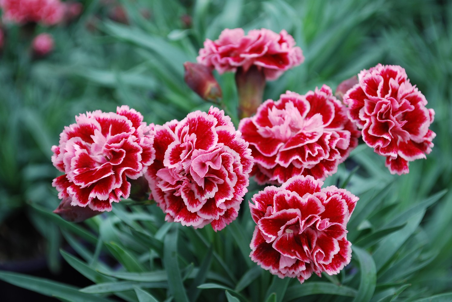 Website/Plants/1264596412/Images/Gallery/d_sugarplum_03.0.jpg