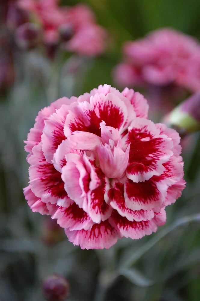 Website/Plants/1264596412/Images/Gallery/d_sugarplum_04.0.jpg