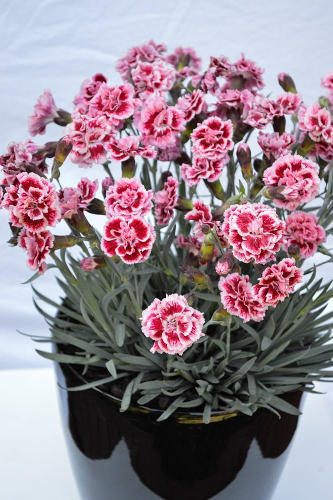 Website/Plants/1264596412/Images/Gallery/d_sugarplum_06.0.jpg