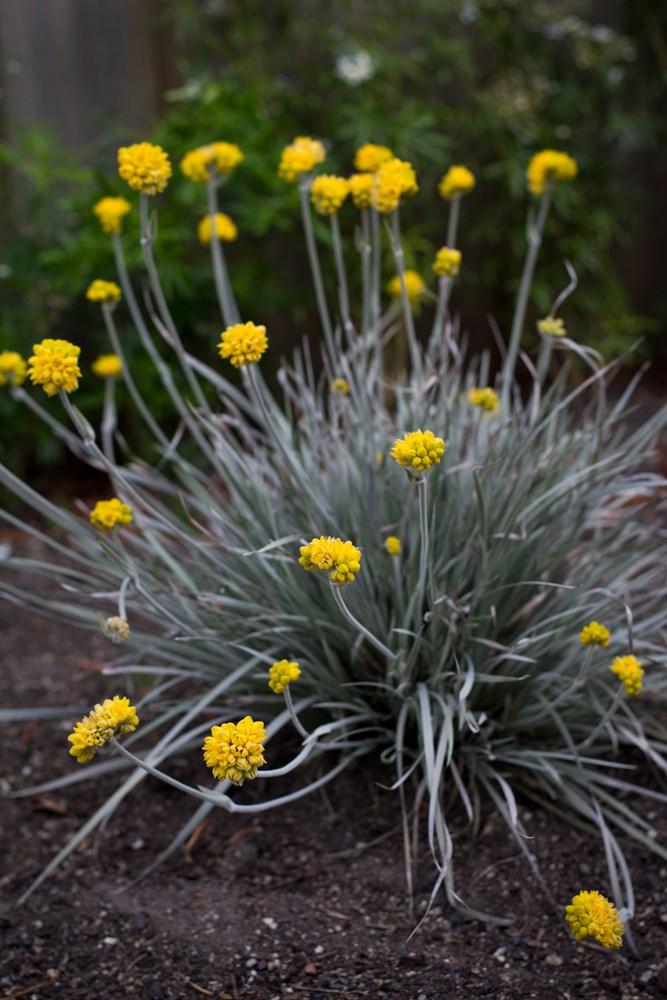 Website/Plants/1280286277/Images/Gallery/c_silversunrise_01.0.jpg