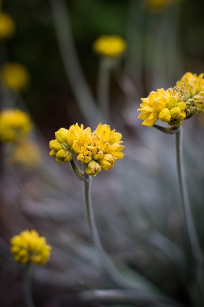 Website/Plants/1280286277/Images/Gallery/c_silversunrise_03.0.jpg