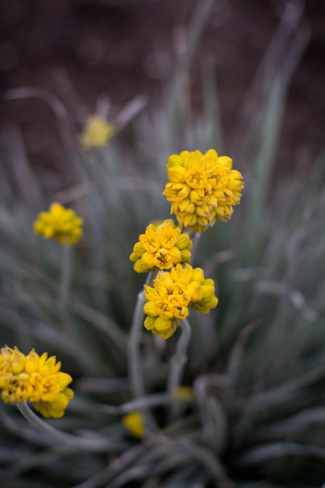 Website/Plants/1280286277/Images/Gallery/c_silversunrise_05.0.jpg
