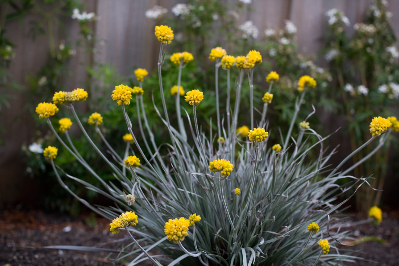 Website/Plants/1280286277/Images/Gallery/c_silversunrise_06.0.jpg