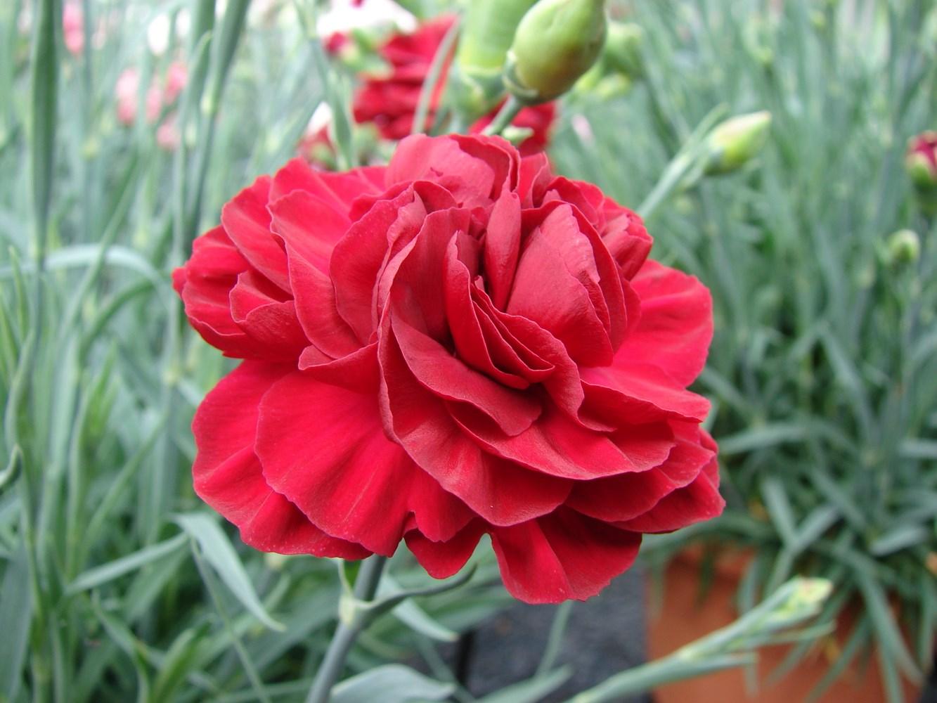 Website/Plants/1449111994/Images/Gallery/d_passion_07.0.jpg