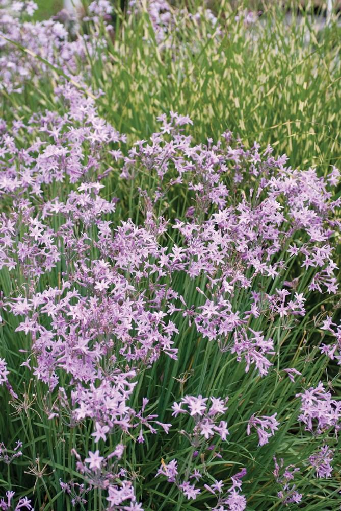 Website/Plants/1560125205/Images/Gallery/t_darkstar_03.0.jpg