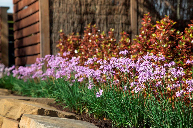 Website/Plants/1560125205/Images/Gallery/t_darkstar_06.0.jpg