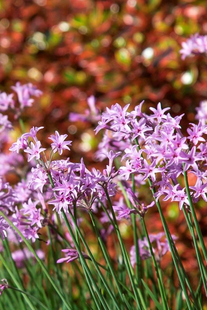 Website/Plants/1560125205/Images/Gallery/t_darkstar_07.0.jpg