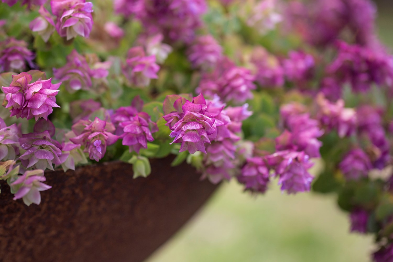 Website/Plants/1611777346/Images/Gallery/o_bellissimo_09.0.jpg