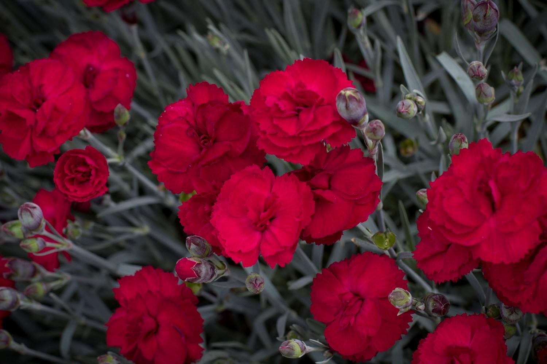 Website/Plants/1622088354/Images/Gallery/d_rebekah_04.0.jpg