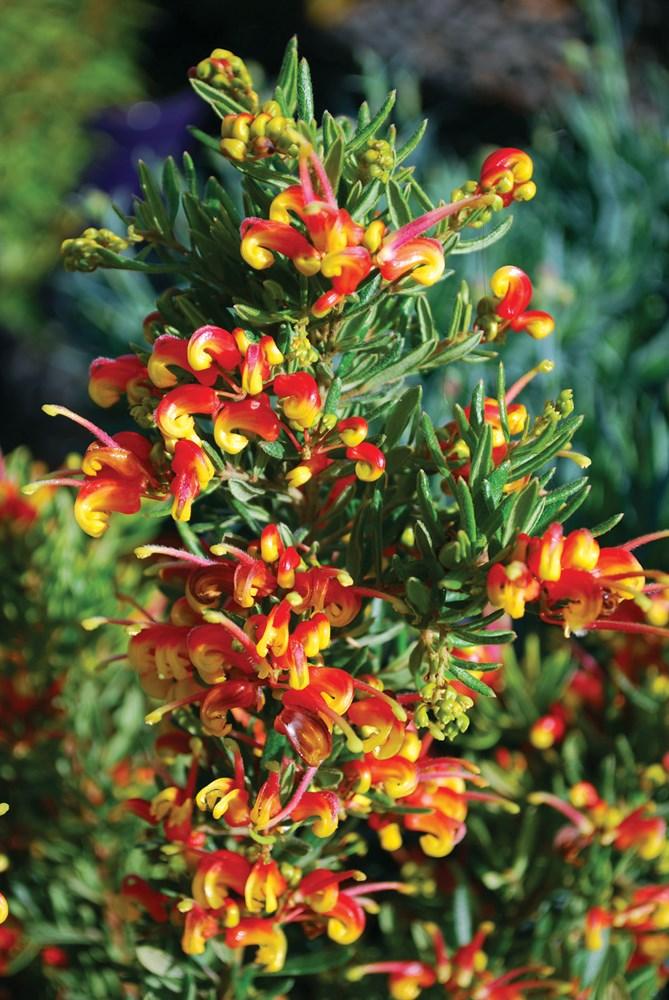 Website/Plants/1652873765/Images/Gallery/g_firecracker_02.0.JPG