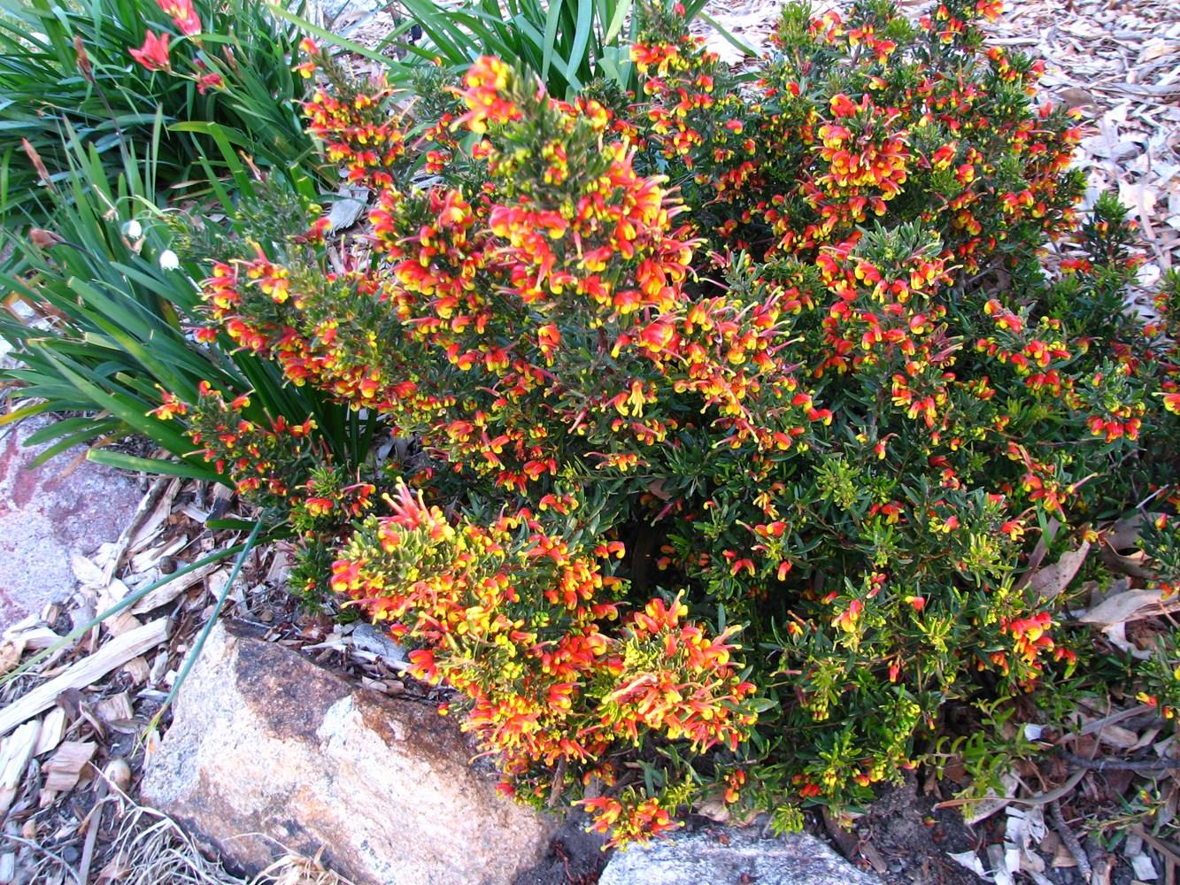 Website/Plants/1652873765/Images/Gallery/g_firecracker_05.0.JPG