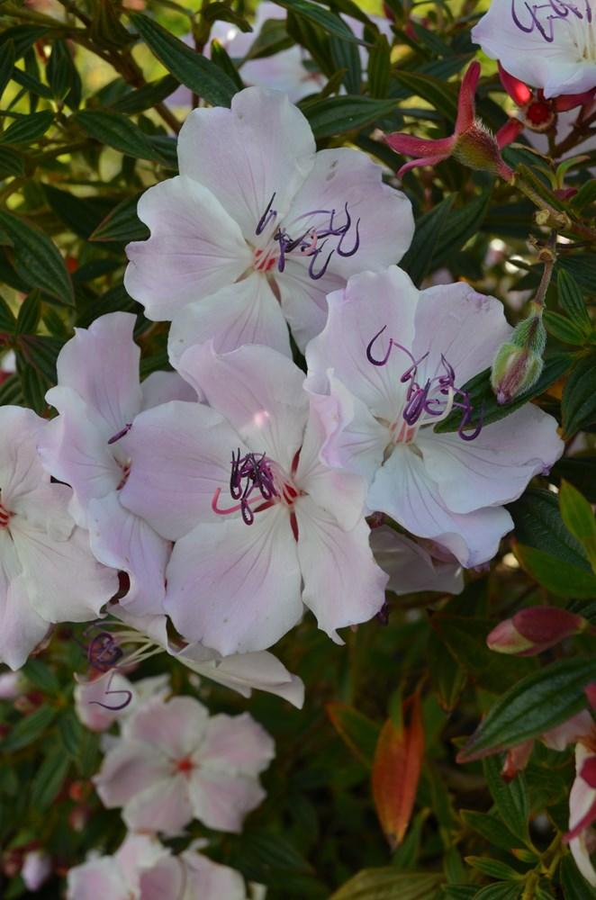 Website/Plants/1712310008/Images/Gallery/t_foxxybaby_01.0.JPG