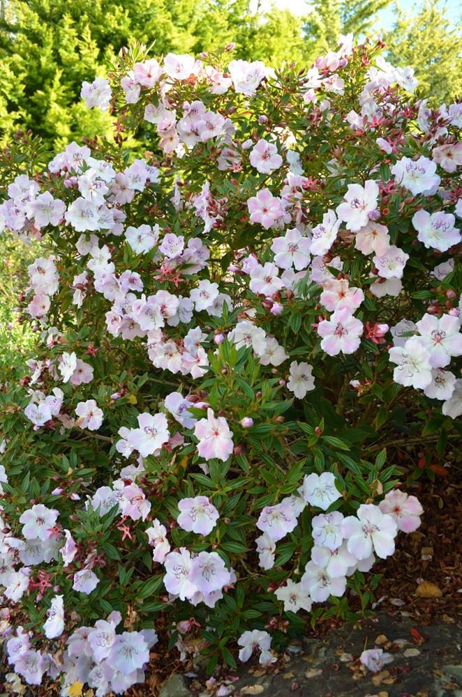 Website/Plants/1712310008/Images/Gallery/t_foxxybaby_02.0.JPG