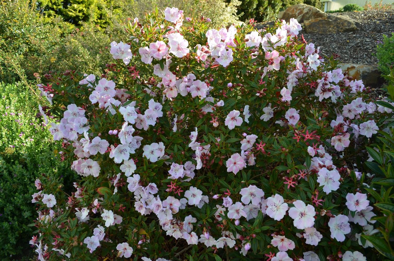 Website/Plants/1712310008/Images/Gallery/t_foxxybaby_03.0.JPG