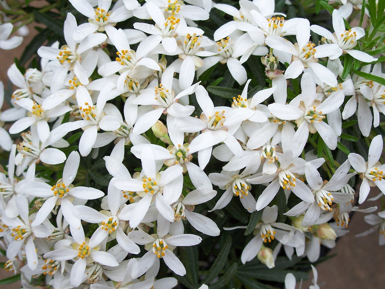 Website/Plants/1727730299/Images/Gallery/c_whitedazzler_02.0.JPG