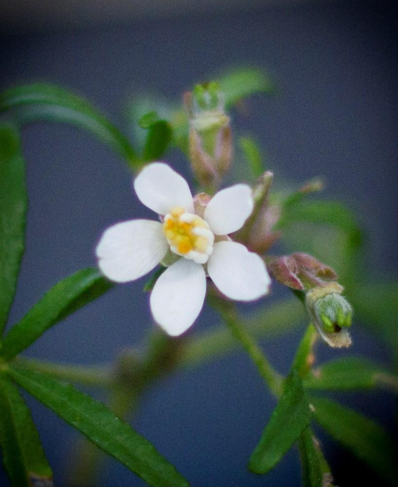 Website/Plants/1727730299/Images/Gallery/c_whitedazzler_05.0.jpg