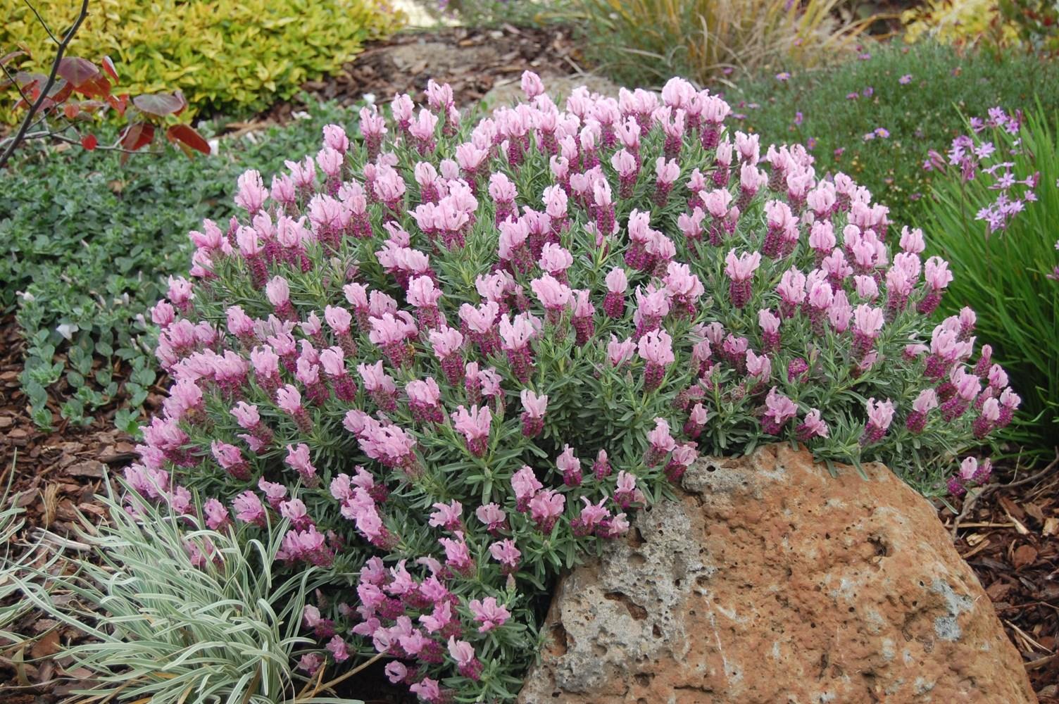 Website/Plants/1823980384/Images/Gallery/l_strawberryruffles_06.0.jpg