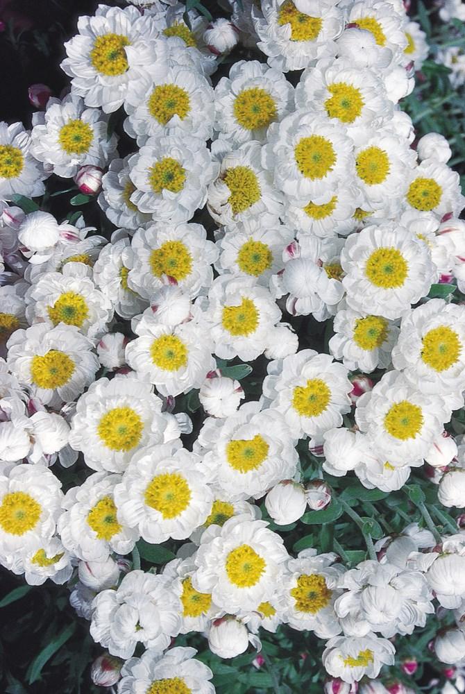 Website/Plants/2123731691/Images/Gallery/r_paperbaby_01.0.jpg