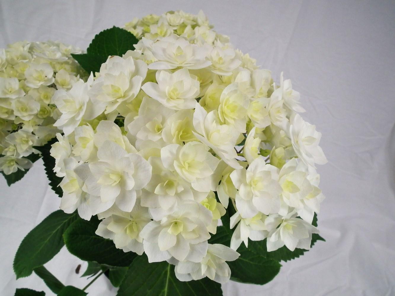 Website/Plants/2144398562/Images/Gallery/h_peace_01.0.jpg