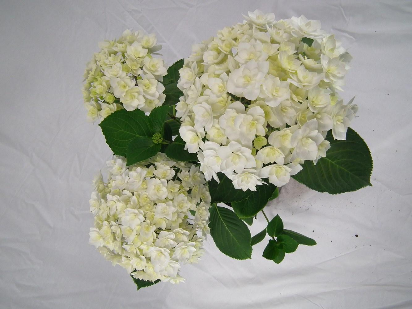 Website/Plants/2144398562/Images/Gallery/h_peace_02.0.jpg