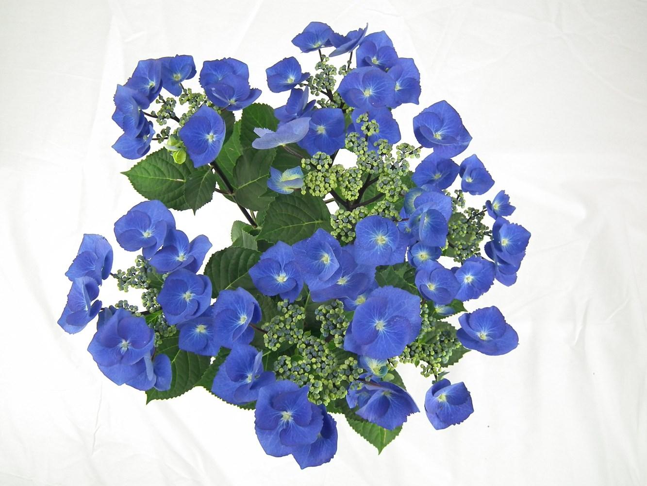Website/Plants/2144398571/Images/Gallery/h_blacklace_01.0.JPG