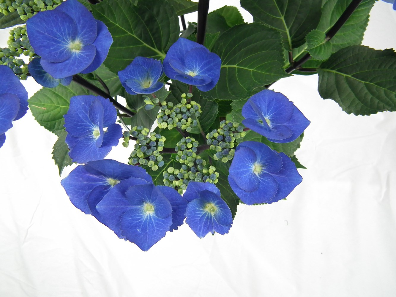 Website/Plants/2144398571/Images/Gallery/h_blacklace_02.0.JPG