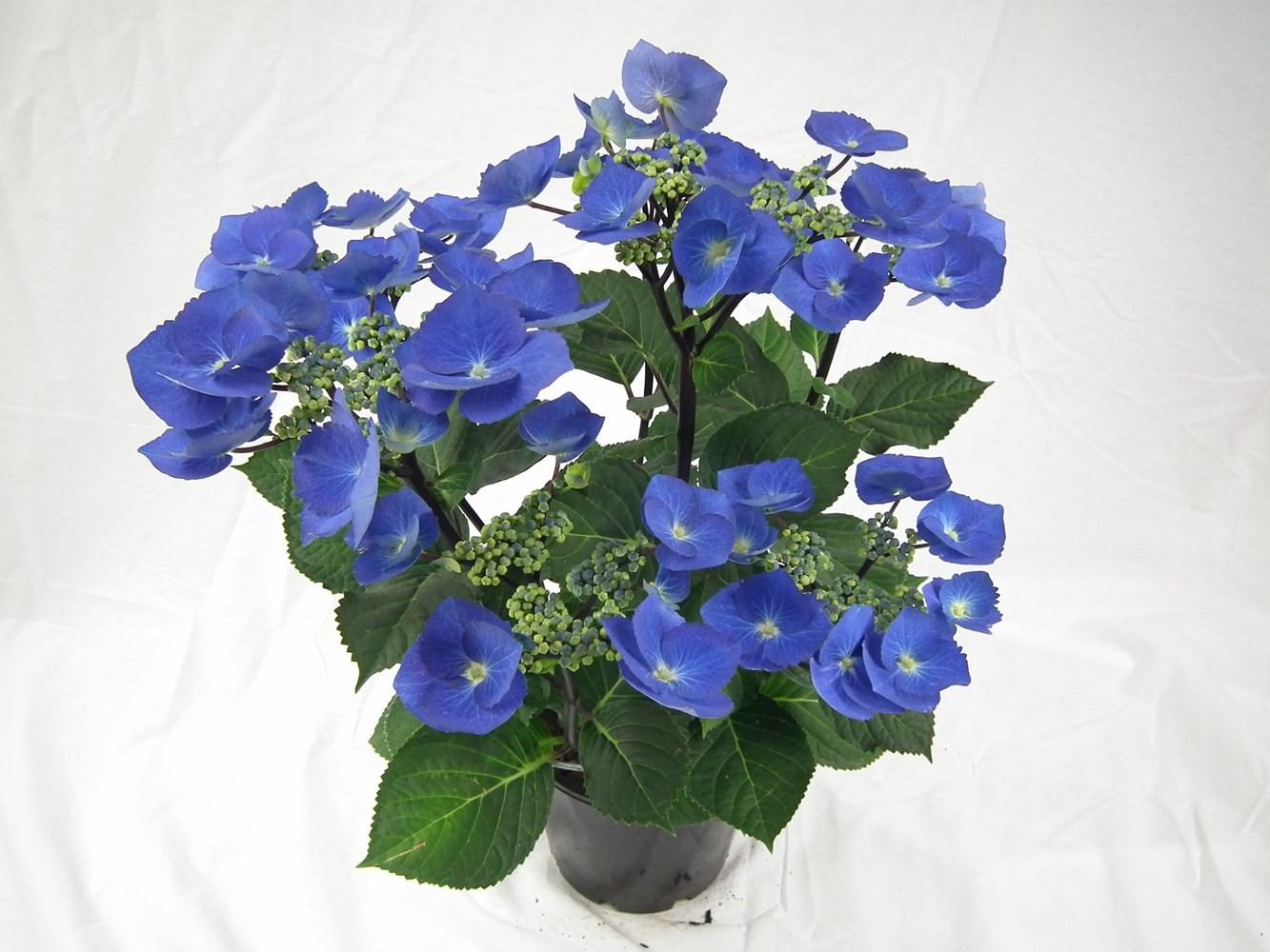 Website/Plants/2144398571/Images/Gallery/h_blacklace_03.0.JPG
