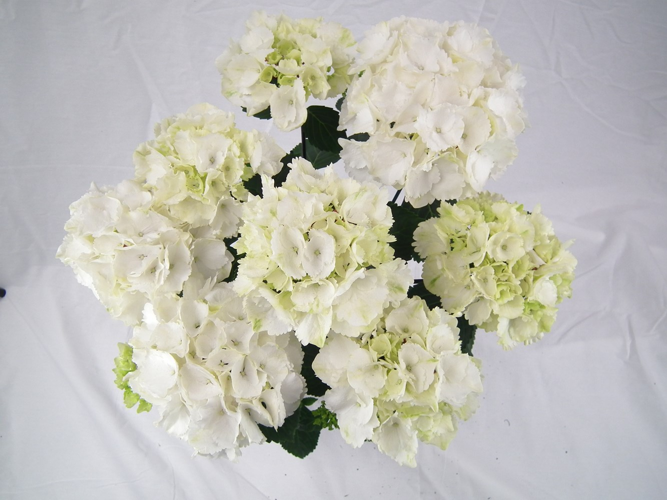 Website/Plants/2144398572/Images/Gallery/h_whiteknight_02.0.jpg