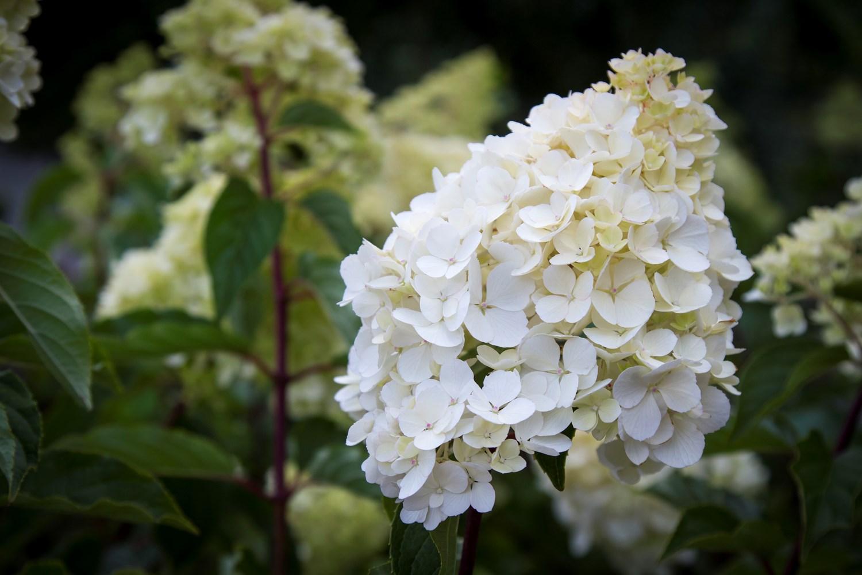 Website/Plants/2144398583/Images/Gallery/h_sundaefraise_01.0.jpg