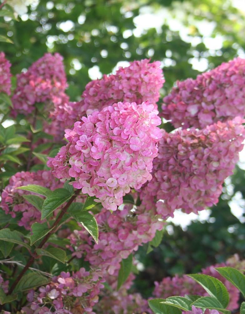 Website/Plants/2144398583/Images/Gallery/h_sundaefraise_06.0.jpg